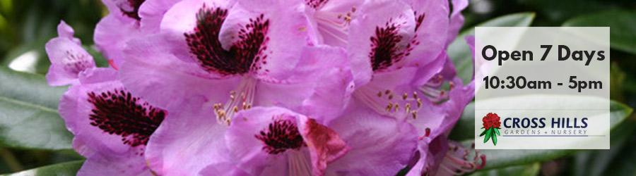 Cross-Hills-nursery-Rhododendron-new-zealand